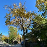 Tree/Branch Damage - Public Property at 11638 77 Avenue NW